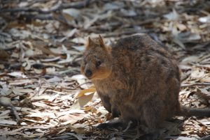 a small quokka - a marsupial native to Australia